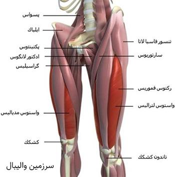 آناتومی عضلات پا